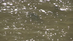 Autumn salmon spawning run in Port Hope Canada Stock Footage