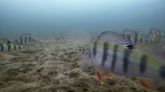 Underwater Perch Fishing. Сatching the fish Stock Footage