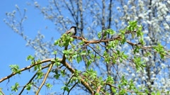 House Sparrow Bird Chirping and Flies Off Branch Stock Footage