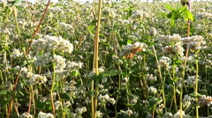 Flowers of buckwheat and buckwheat vast fields. Stock Footage