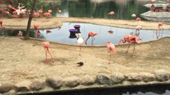 Group of pink flamingo birds on the lake Stock Footage