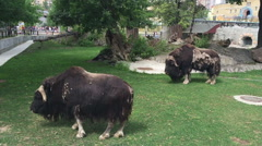 The muskox is having a rest on the green grass in the Moscow zoo, Russia. Stock Footage