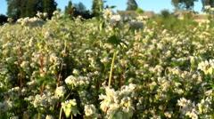 Flowers of buckwheat and buckwheat vast fields. Stock Footage
