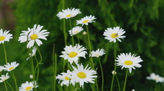 Chamomile flowers, swaying in the wind. Medicinal herbs Stock Footage