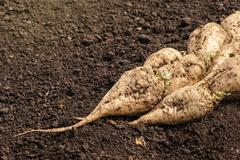 Harvested sugar beet crop root pile Stock Photos