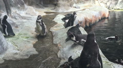 Penguin in the Moscow zoo Russia. Stock Footage