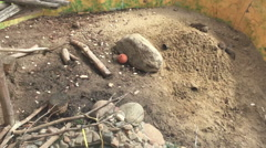 Banded mongoose Mungos mungo digging the ground. Stock Footage