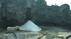 Polar bear in the Moscow zoo, Russia. Stock Footage