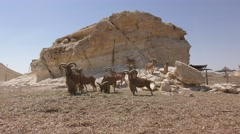 The Barbary sheep, Ammotragus lervia, is a species of caprid (goat-antelope)  Stock Footage