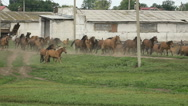 Herd of horses running on the pasture in autumn Stock Footage
