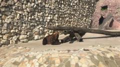 Brown bear in zoo park. Stock Footage