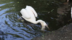 White Pelican (Pelecanus onocrotalus) in the Moscow zoo, Russia. Stock Footage