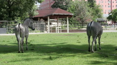 African zebra in the Moscow zoo, Russia. Stock Footage