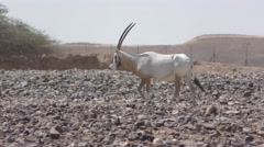 Antelope Arabian Oryx, Oryx leucoryx, Bovidae, threatened by extinction Stock Footage
