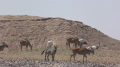 Desert Oryx, Zebra, Kudu and Antelope live together Stock Footage