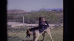 1968: a dog is seen jumping COTTONWOOD, ARIZONA Stock Footage