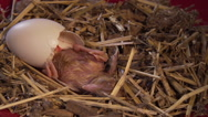 Baby Chicken Hatching Stock Footage