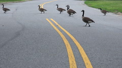 4K Geese Cross Road Time Lapse Stock Footage