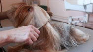 Groomer combs hair Yorkshire Terrier Stock Footage