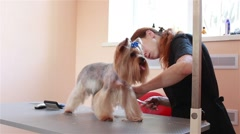 Cuts hair groomer Yorkshire Terrier Stock Footage