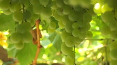 Bunch of white grapes Stock Footage