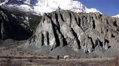 Horses graze near high Himalayan mountains Stock Footage