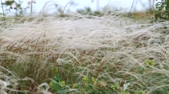 Steppe of white feathergrass Stock Footage