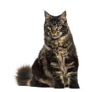 Maine Coon cat sitting isolated on white Stock Photos