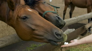 Young woman girl feeding and taking care of brown horse. Female with animal Stock Footage