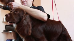 Groomer comb and dry hair hairdryer Spaniel Stock Footage