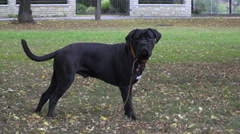 Cane Corso puppy lost his owner and then after he saw him happily ran Stock Footage