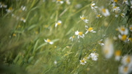 Wild chamomile flowers on a field on a sunny day. shallow depth of field Stock Footage