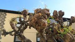 Unusual form tree in Puerto de la Cruz, Tenerife, Canary islands, Spain. Stock Footage