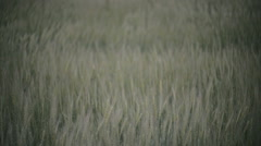 Green wheat field in the wind background Stock Footage