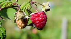Ripe raspberry bush in sunny summer day. Stock Footage