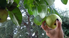 Quince apple harvest Stock Footage