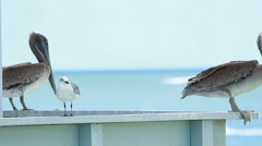 Animals bird pelican Close-up of a pelican with Pacific Ocean in the background. Stock Footage