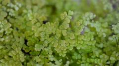 Maidenhair fern close up background Stock Footage