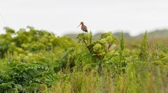 Black tailed godwit Stock Photos