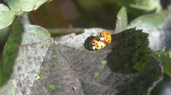 Two ladybugs on a leaf Stock Footage