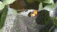 Two ladybugs on a leaf Stock Footage