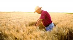 Senior farmer in a field examining wheat crop Stock Footage