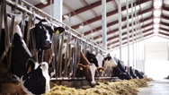 Herd of cows eating hay in cowshed on dairy farm Stock Footage