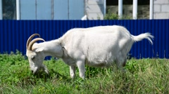 White goat on leash eating grass Stock Footage