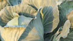 Cabbage harvest close-up Stock Footage