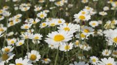 Field daisy closeup Stock Footage
