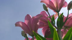 Large Lily flower in orange on a blue sky background Stock Footage