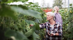 Old woman picking cucumbers up at farm greenhouse Stock Footage