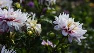 Chrysanthemum  in the garden Stock Footage