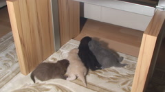 Little kittens of the British breed crawling around the apartment Stock Footage